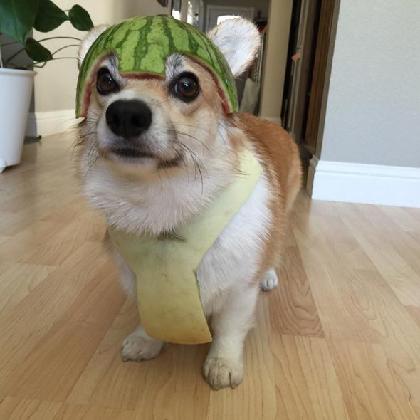 Perro con un casco de sandía