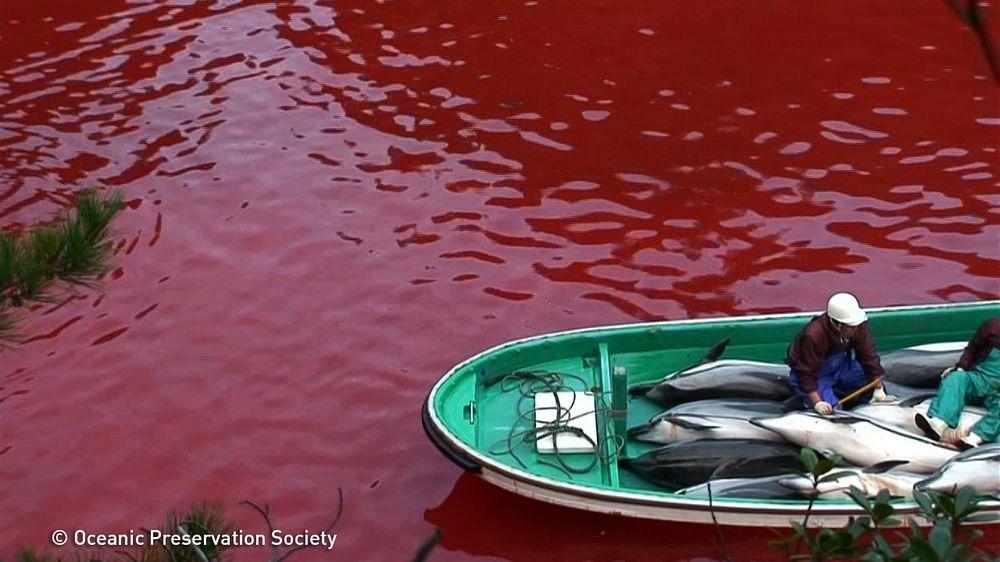 taiji-dolphin-hunt-2