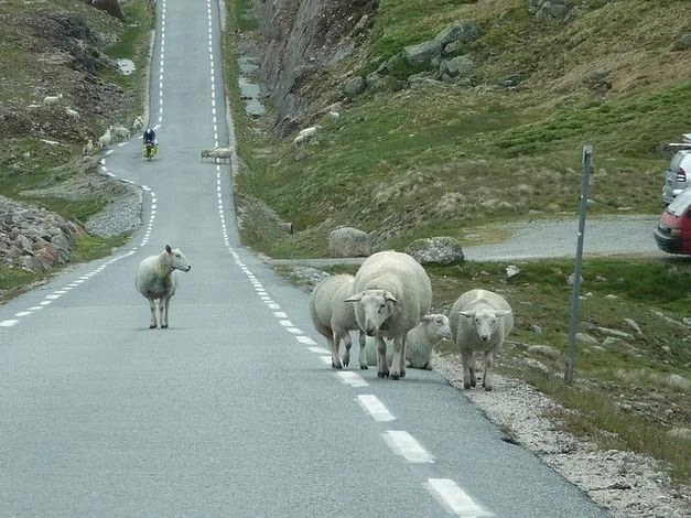 Animals by the roadside in Norway