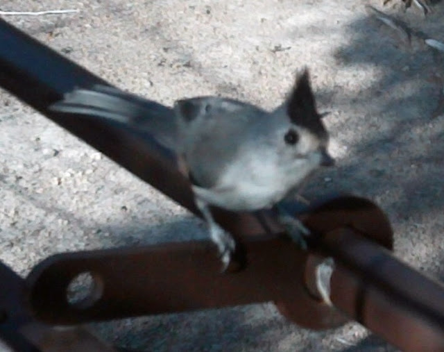 titmouse is a native texas song bird