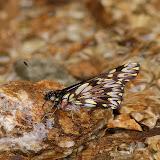 Pierinae : Catasticta reducta boliviana BUTLER, 1896. Allapa, route de Satipo (Junin, Pérou), 7 janvier 2011. Photo : Meena