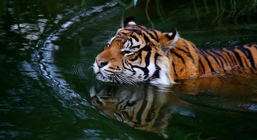 harimau berenang