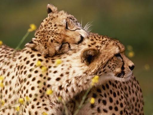 Affectionate Cheetahs.jpg