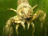 Closeup of a crawfish (© 2012 Bernd Neeser)
