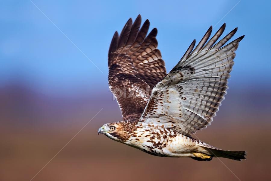 by Herb Houghton - Animals Birds ( buteo, bird of prey, red tailed hawk, raptor, hawk )