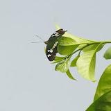 Moduza procris procris CRAMER, 1777. Jinghong (Xichuangbanna, Yunnan), 28 août 2010. Photo : J.-M. Gayman