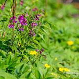 Чина весенняя (Lathyrus vernus)
