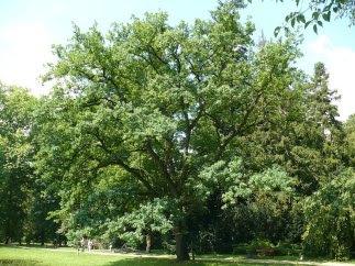 Dąb szypułkowy pokrój Quercus robus habit