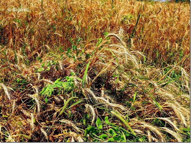 Verunreinigtes Getreide