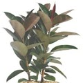 Rubber Plant Ficus robusta or Ficus elastica air cleaning plant