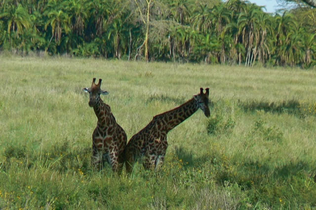 Serengeti National Park - giraffe mating dance