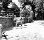Zebrák a budapesti állatkertben, 1940 (Fotó: Fortepan)