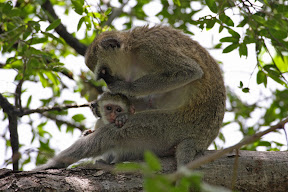 Vervet Mother and Baby, Botswana