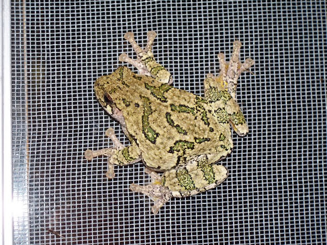 Gray Treefrog (Martin Parker)