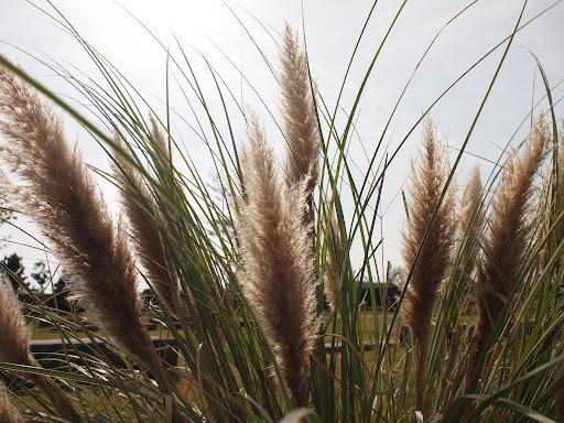 [写真]ススキ的な植物