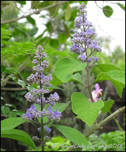 07-06-tropical-lilac