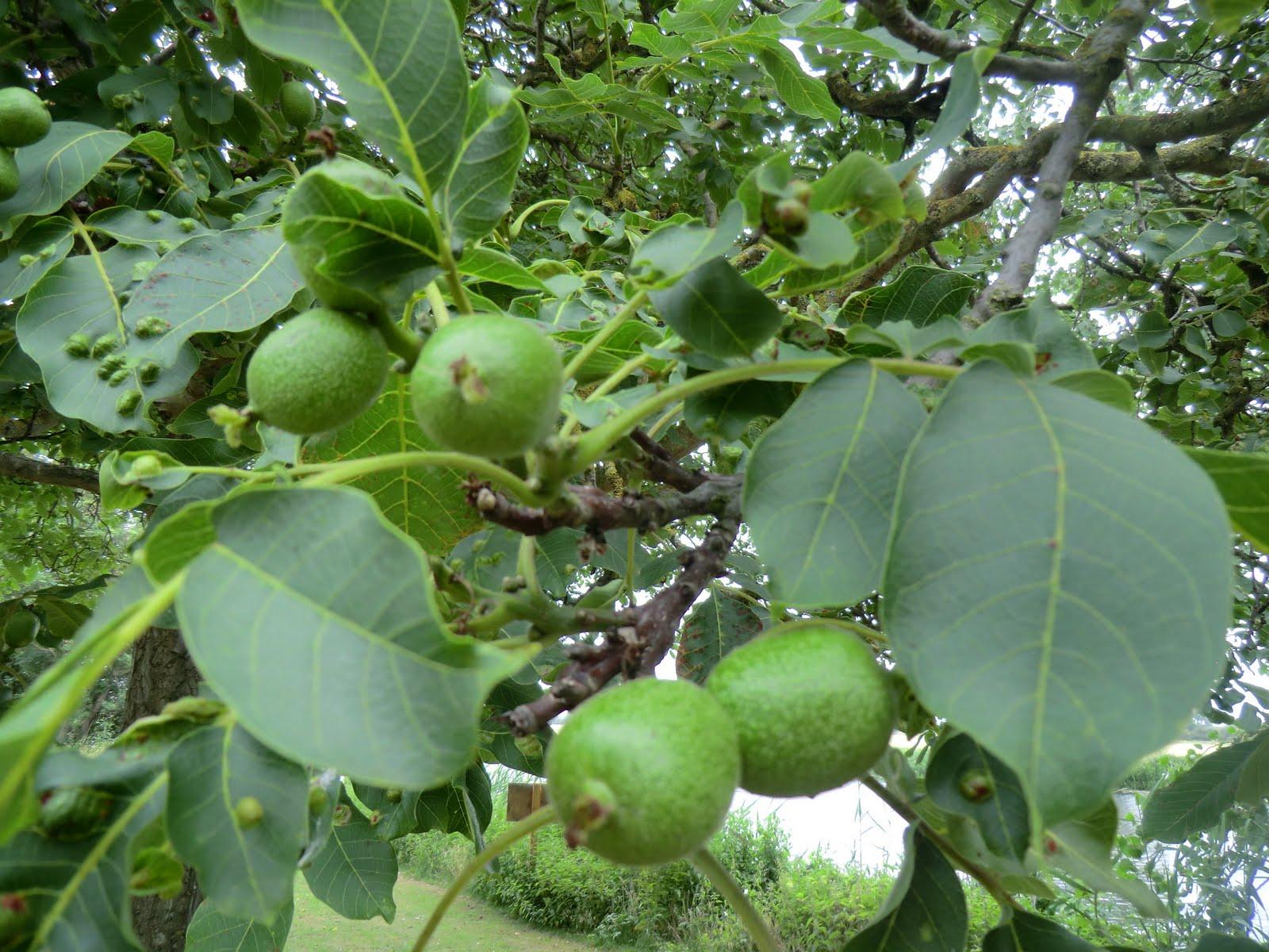 CIMG7755 Walnut tree, Riverside Park