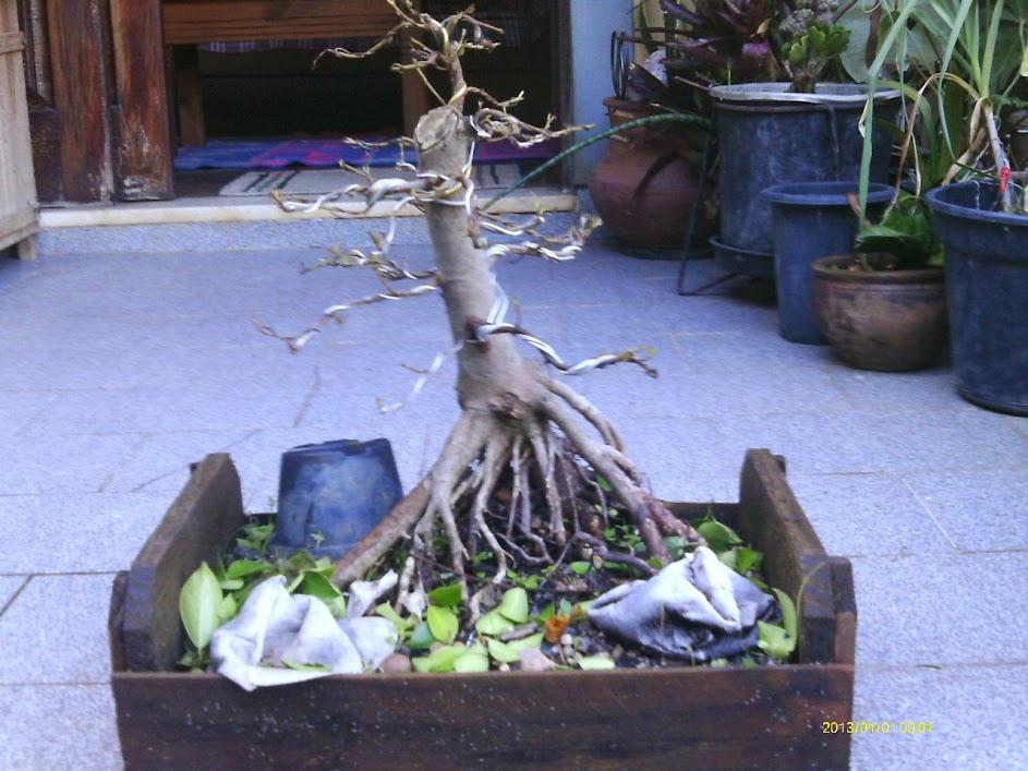 Ficus Microcarpa var. Indica... IMAG0327