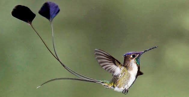 Male Marvelous Spatuletail, by Dubi Shapiro.