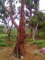 Cây đa búp đỏ - cây trong bộ tứ quý