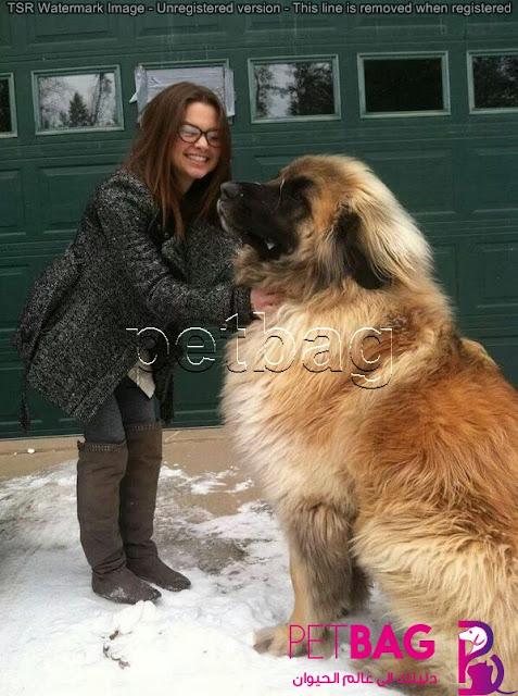Leonberger Dog Breed information