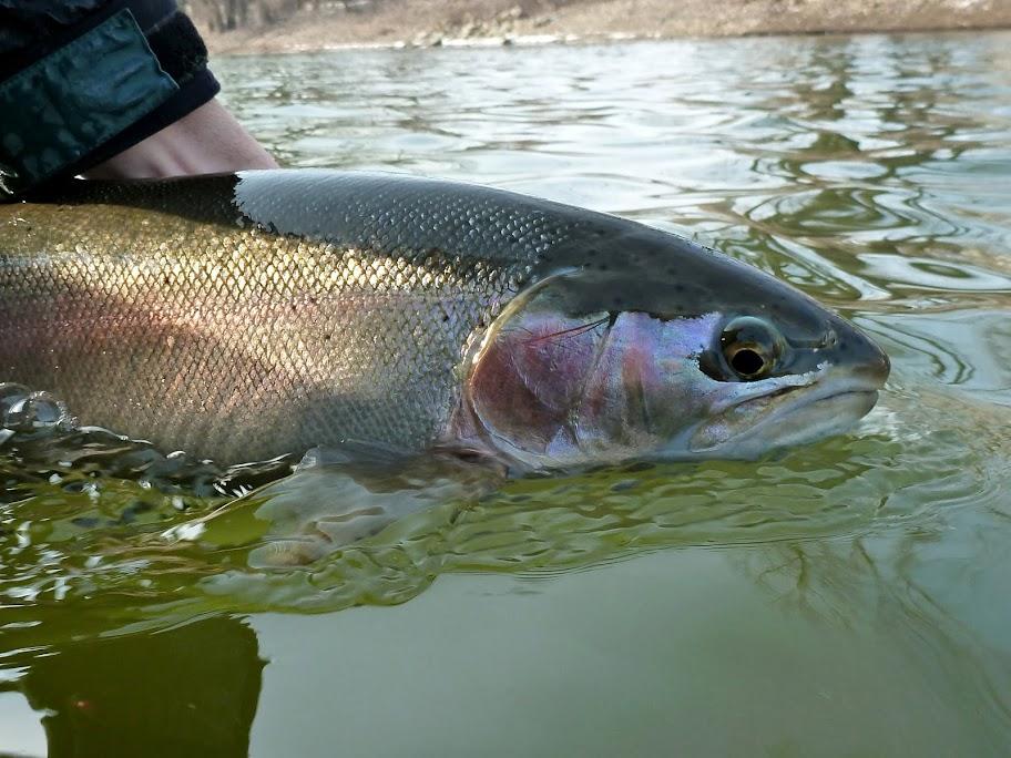 Grand Rapids Fishing for Steelhead Trout