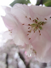 Photo: Rain dripping from pink apple blossoms at Eastwood Park in Dayton, Ohio.