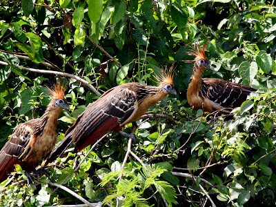 Chicken birds by Lake Sandoval in Tambopata Peru