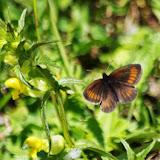 Erebia pharte (HÜBNER, 1804), f. phartina STAUDINGER, 1894, mâle. Fex Curtins, 2100 m (Engadine, Grisons, CH), 12 juillet 2013. Photo : J.-M. Gayman