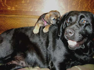 """Mothering"" one of Mardi's puppies."