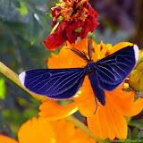 Geometridae : Ennominae : Melanchroia chephise (STOLL, 1782). Pitangui (MG, Brésil), 27 mai 2011. Photo : Nicodemos Rosa