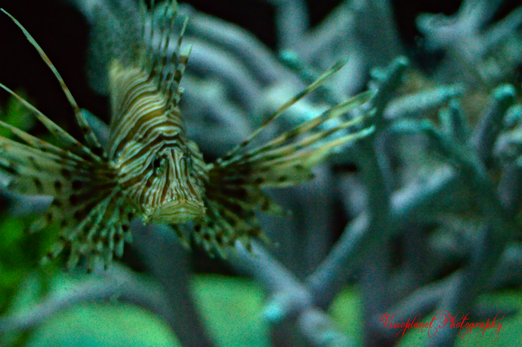 The devil firefish (common lionfish) by Sudipto Sarkar on Visioplanet