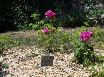 2013.07.17-010 rose ville du Havre