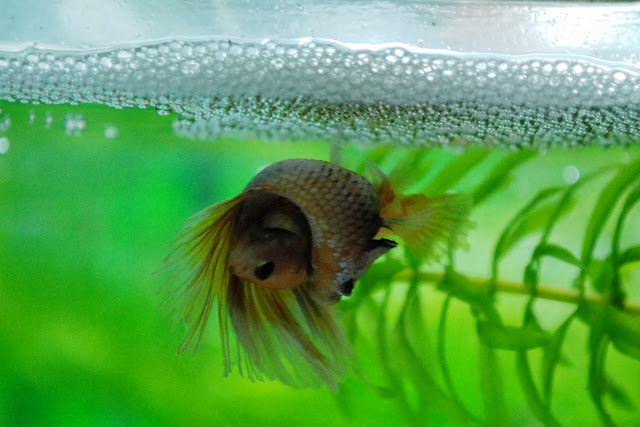 The show betta breeding process the planted tank forum for Betta fish mating