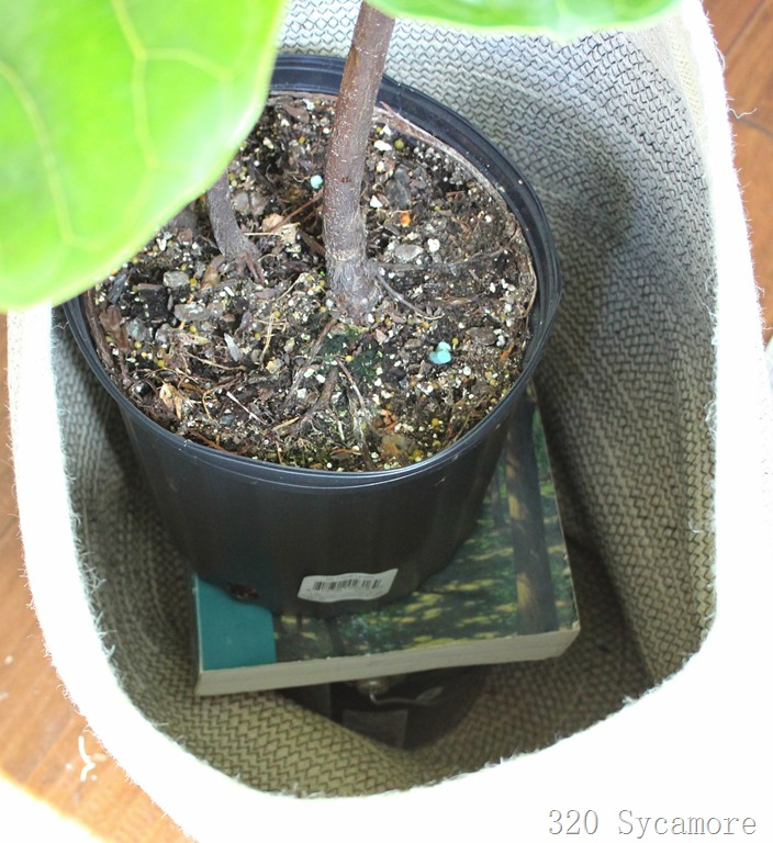 [fiddle+leaf+fig+care%5B2%5D]