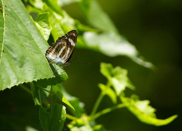 Athyma nefte mathiola FRUHSTORFER, 1898, mâle. 20 km à l'est de Telupid, 1er août 2011. Photo : J.-M. Gayman