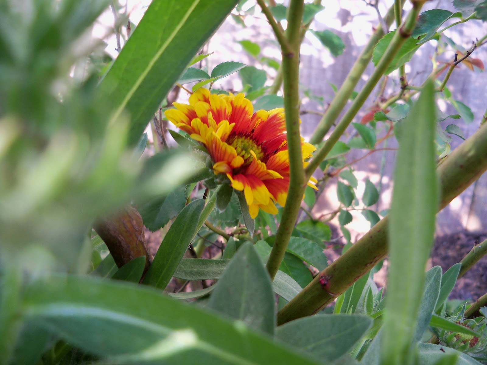 Gardening 2011 - 100_6884.JPG
