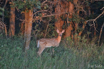 Fawn one at sunset (2)-2