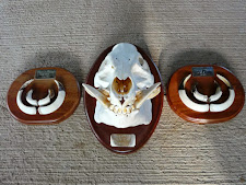 Wild boar tusks and skull on Mahogany plaques