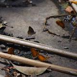 Premier plan : Phalanta eurytis DOUBLEDAY, 1847. Second plan : Sevenia amulia CRAMER, 1777. Ebogo (Cameroun), 8 avril 2012. Photo : J.-M. Gayman