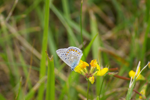 Polyommatus icarus (Rottemburg, 1775), mâle. Hautes-Lisières (Rouvres, 28), 26 juillet 2010. Photo : J.-M. Gayman