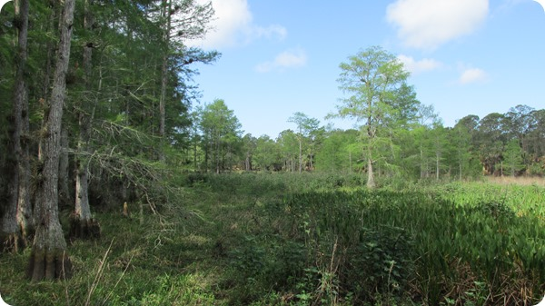 10 Bald Cypress Swamp (3)