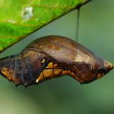 Chrysalide d'Ornithoptera priamus. Mokwam, Arfak, 21 août 2007. Photo : G. Zakine