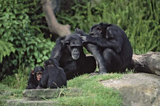 cara bersosialisasi simpanse