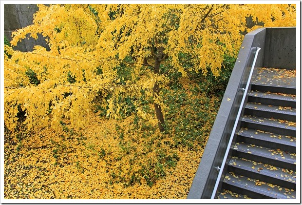 121202_gingkos-in-the-rain_09