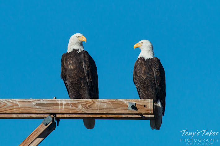 Bald Eagle pair. Note how much bigger the female on the left is than the male. (© Tony's Takes)