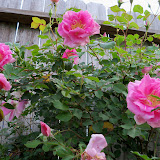 Gardening 2011 - 100_7151.JPG