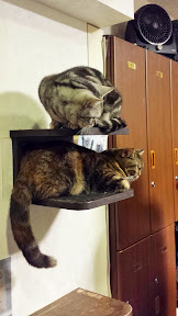 Calico Cat Cafe in Shinjuku, 2 floors of cats to play with or just sit around as you read manga or purchase beverages and snacks. Shelves of cat