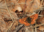 Rødlig perlemorsommerfugl.jpg