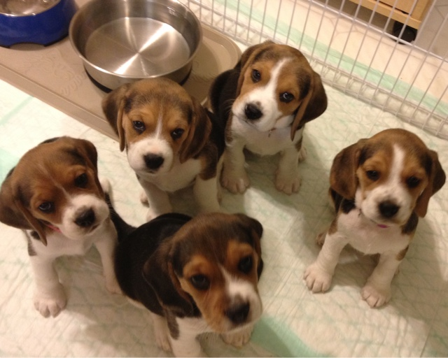 Ohmers westside beagles puppies are 6 12 weeks old puppies are 6 12 weeks old voltagebd Choice Image